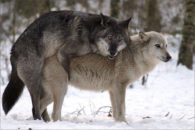 Магазин шамана влагалище волчицы